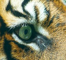 The eye of the Tiger by Antoine de Paauw