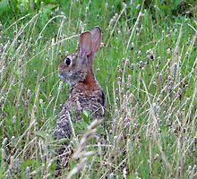 Scared Rabbit by Carolyn  Fletcher