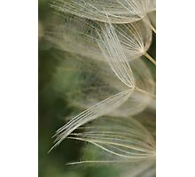 Salsify Seeds Photographic Print