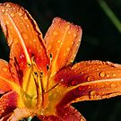 Wet Wild Orange Lily by Kenneth Keifer