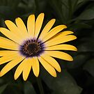 osteospermum as-is by Linda Makiej