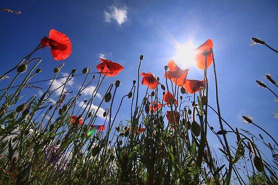 Poppys against a blue sky by Peet de Rouw