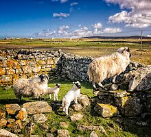 Sheep in Church by hebrideslight