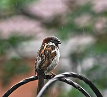 House Sparrow by Lauren Tucker