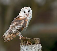 Barn Owl by FranWalding