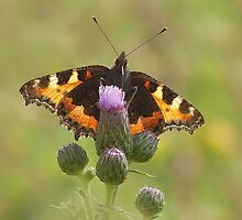 Small tortoiseshell butterfly by Stacey  Purkiss