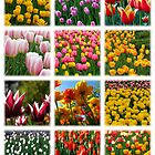Tulips by photonista
