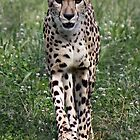 Beautiful Cheetah by Virginian Photography (Judy)