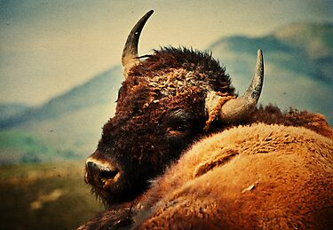 Bison 12 by Miles Glynn