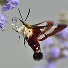 Clearwing Hummingbird Moth by Kathy Baccari