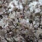 Magnolia Blooms by Jane McDougall