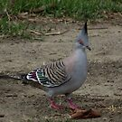 Crested Pigeon by SophiaDeLuna