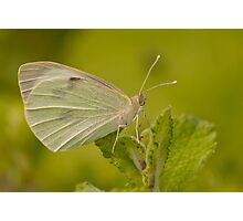 Pieris brassicae Photographic Print