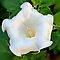 First Moon Flower - Daily Homework - Day 40 - June 16, 2012 by aprilann