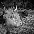 Highland Cattle by Patricia Jacobs CPAGB LRPS BPE2