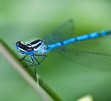 Common Blue Damselfly by RedMann