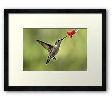 Female Ruby Throated Hummingbird Framed Print