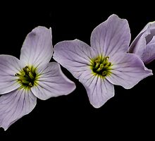 Cuckoo Flowers by Roger Hall