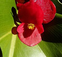 Red Dwarf Begonia flower by CeciliaMay