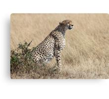 Looking About, Cheetah, Maasai Mara, Kenya Canvas Print