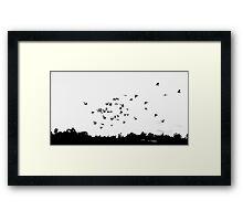 Sulphur Crested Cockatoos in flight Framed Print