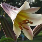 Lakeshore Lily by Kelly Morris