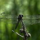 A Dragonfly of Alabama by ChuckBuckner