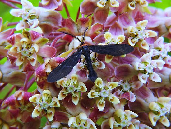 Grapeleaf Skeletonizer Moth Dining on common milkweed by Ron Russell