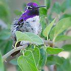 Costa's Hummingbird  by Saija  Lehtonen