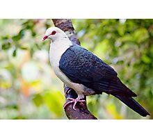 White-Headed Pigeon Photographic Print