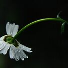 Rainy Day Daisy by Tracy Friesen