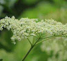 Elderflowers by karina5