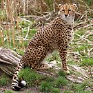 Cheetah by Cat Brady