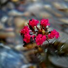 Crepe Myrtle Flower by jasmith162