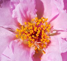 Portulaca by Ray Chiarello