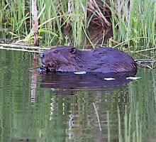 North American Beaver by Vickie Emms