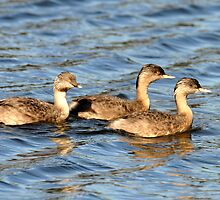 Hoary-Headed Grebes taken at Walka Water works, Maitland by Alwyn Simple