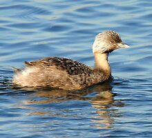 Hoary Headed Grebe taken Walka Waterworks at Maitland by Alwyn Simple