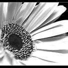 Black and White Gerbera by Vicki73