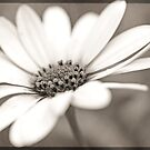 Vintage Daisy by Astrid Ewing Photography