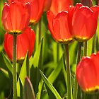 Backlit Tulips by Mark  Spowart
