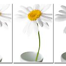 Chrysanthemum Triptyque by Jacinthe Brault