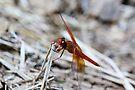 Dragonfly by Kimberly Palmer