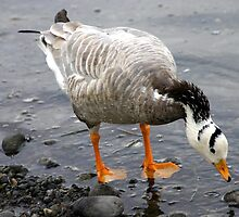 Bar Headed Goose - Esquimalt Lagoon by Heather  Hess