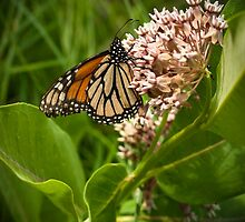 Monarch and Milkweed 2 by Thomas Young