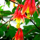 Close-up of Columbines by CrystalFanning