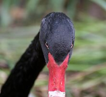 Black Swan Portrait by GP1746