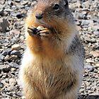 Mt Howard Ground Squirrel by Don Siebel