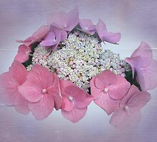 Pink Lace Cap Hydrangea Flowers by MotherNature