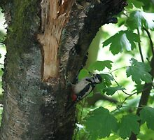 Great Spotted Wood Pecker Scotland by youmeus